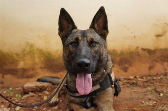 Standard Explosive Detection Dogs Edds